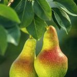 Green Smoothie Recipes With Pears